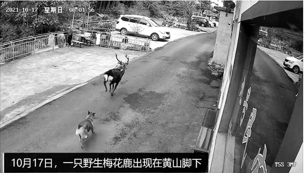 40年来黄山首次发现野生梅花鹿