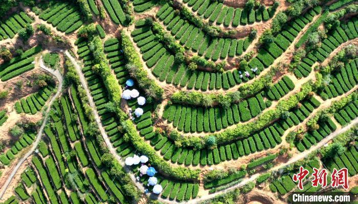 资料图:福建华安县仙都镇进入繁忙的采茶季。 黄建和 摄