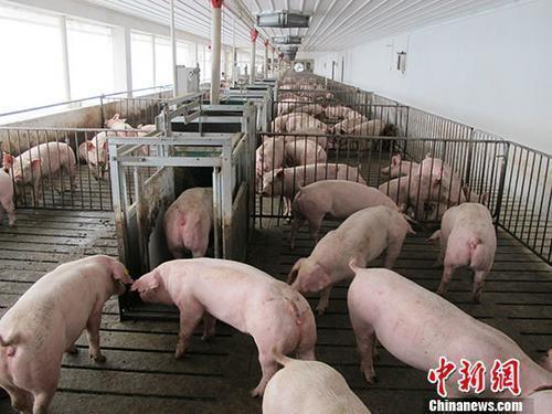 资料图:活猪养殖场。 <a target='_blank' href='http://www.chinanews.com/'>中新社</a>记者 林浩 摄
