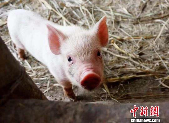 资料图:近期,中国生猪价格持续上涨。 钟欣 摄