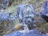 四川格聂神山首次发现雪豹