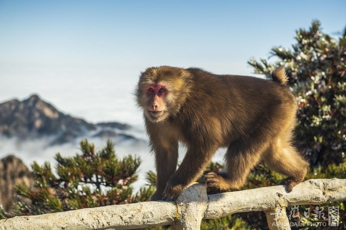 黄山短尾猴 表情萌萌哒